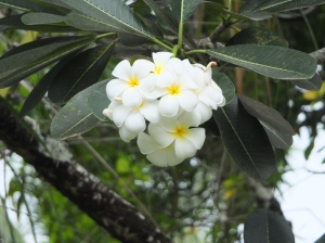 My favorite flowers; the gloriousy perfumed frangipani.
