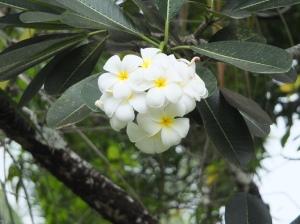 My favorite flowers; the gloriousy perfumed frangipani.